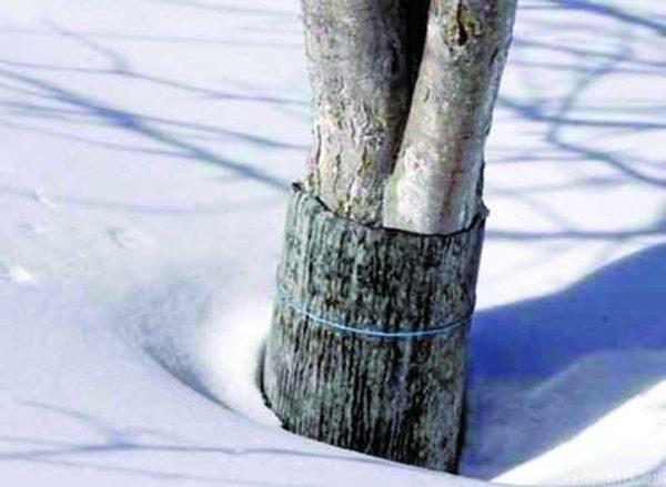 Защита плодового дерева от грызунов