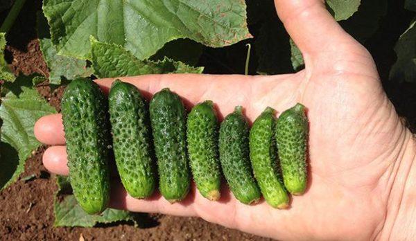 Маленькие зеленцы