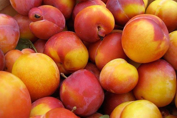 Урожай сливы Персиковая