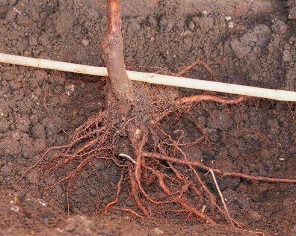 Расправленные корни саженца
