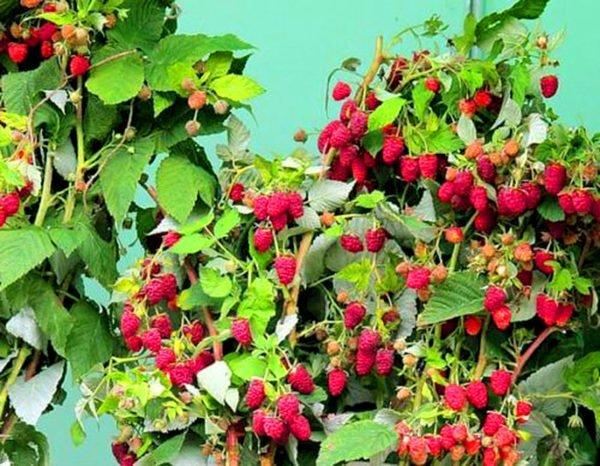 Ягоды малины сорта Полана