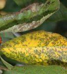 Коккомикоз листьев