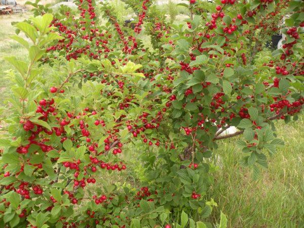 Дерево войлочной вишни