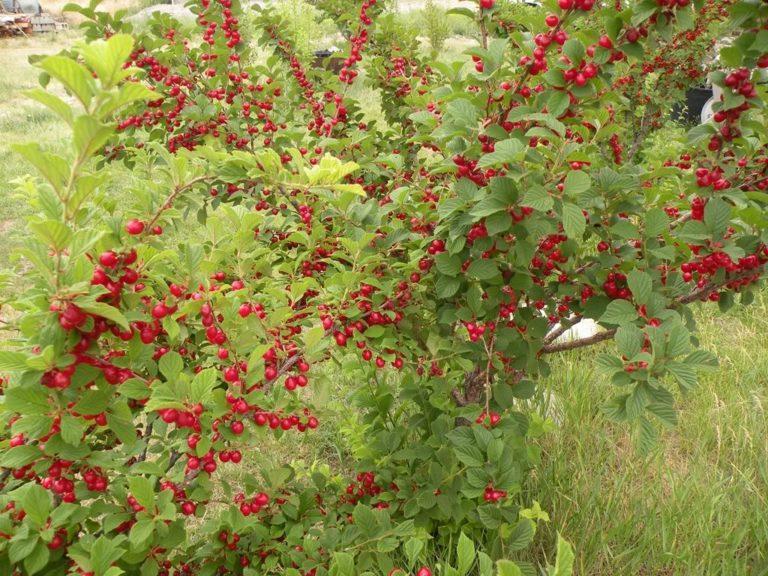 Войлочная вишня сорта для ленинградской