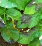 Фитофтороз на листьях