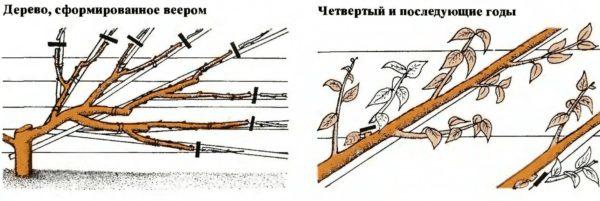 Формирование вишни с веерной кроной