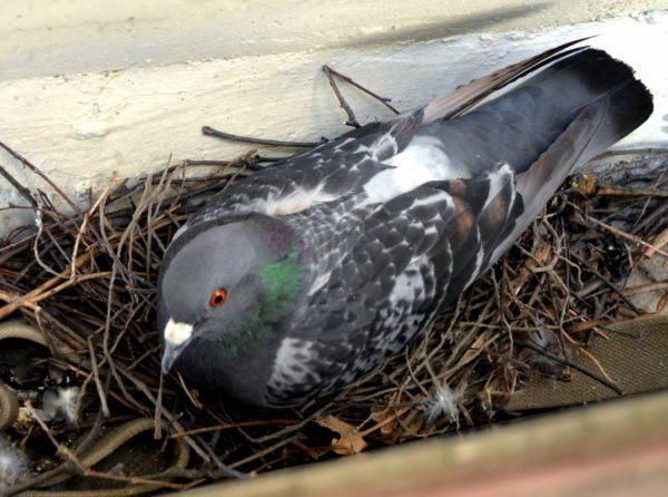 Гнездо голубя на балконе