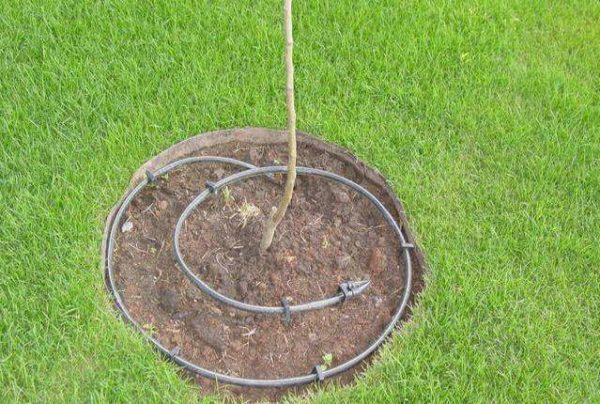 Капельный полив деревца