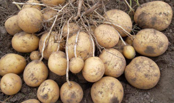 Картошка Удача