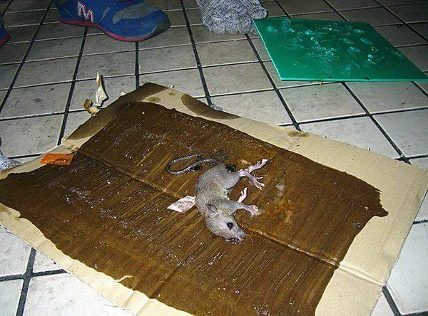 крыса, пойманная на клеевую ловушку, сделанную своими руками