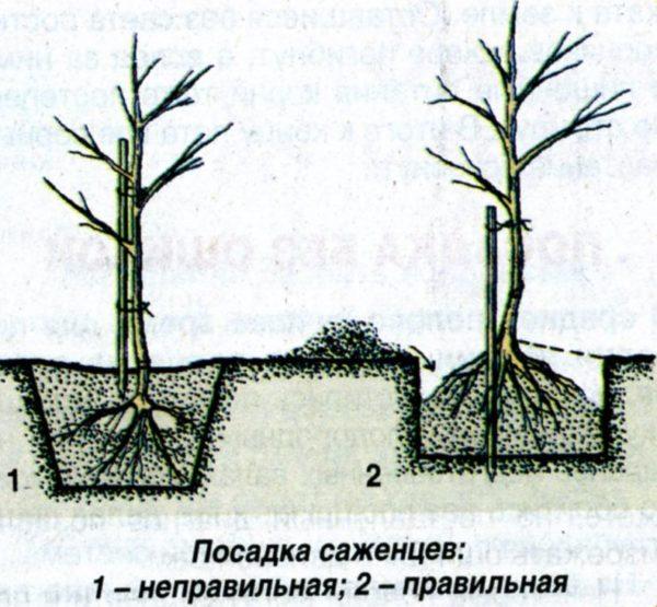 Корни дерева при посадке