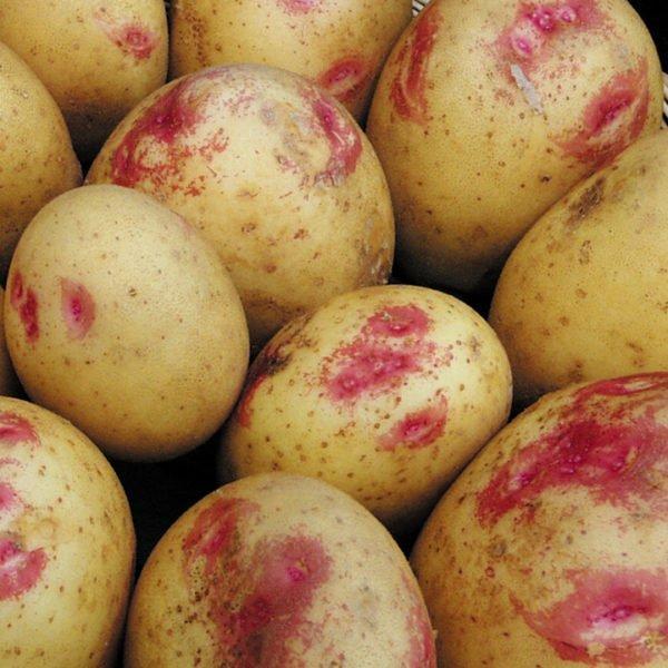Клубни картофеля сорта Лимонка