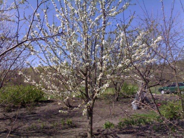 Молодое черешневое дерево