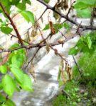 Монилиоз плодового дерева