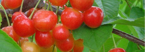Морозостойкий сорт черешни Брянская розовая