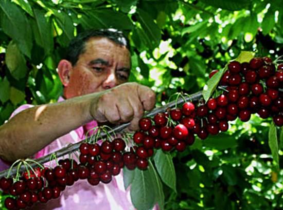 Обильный урожай черешни на ветке