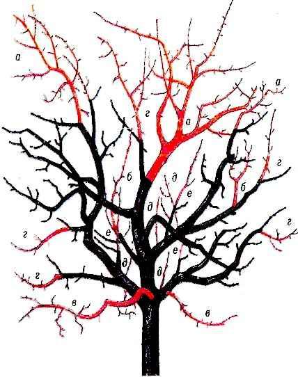 Схема обрезки взрослой вишни