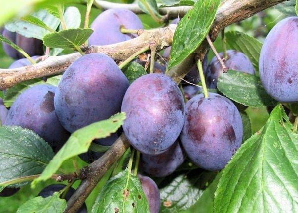 Плоды сливы Тульская чёрная на ветке