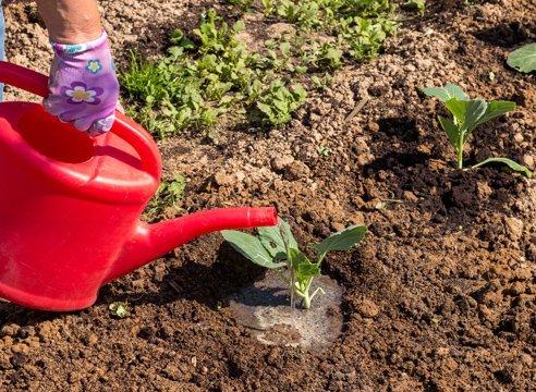 как правильно поливать цветную капусту в открытом грунте