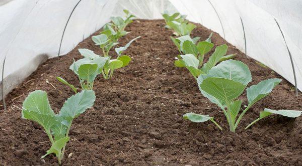Молодые саженцы в парнике на плодородной рыхлой почве