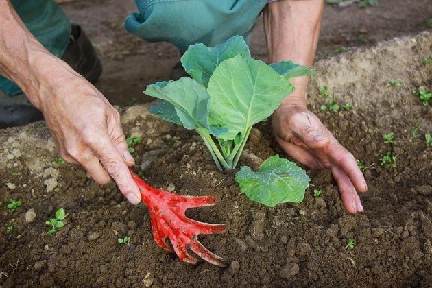 как подкормить цветную капусту