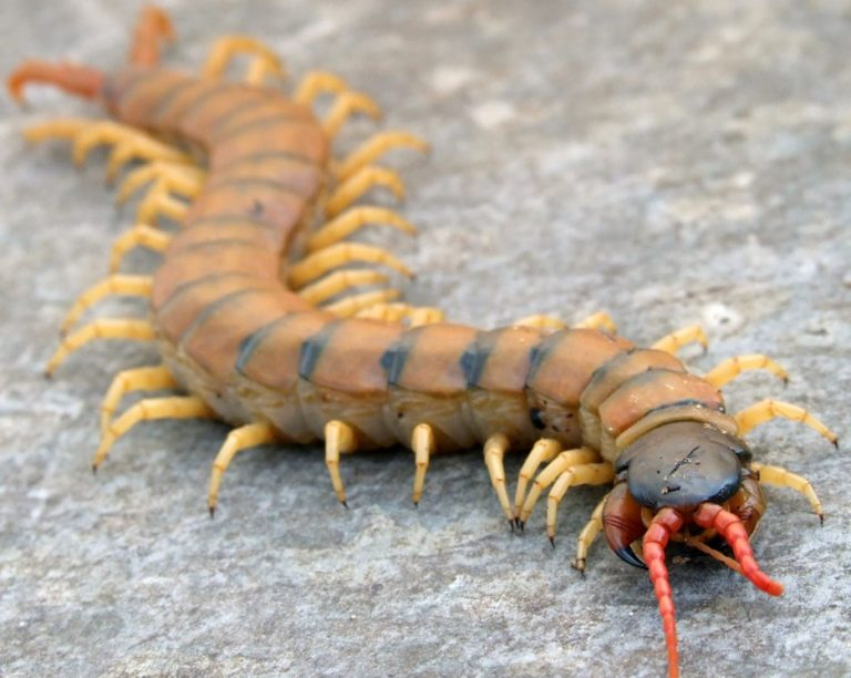 гусеница сколопендра фото представлены сведения названиями