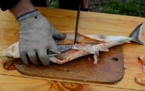 Потрошение стерляди: вынимают внутренности