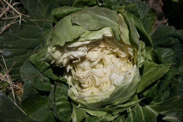Треснувший кочан капусты