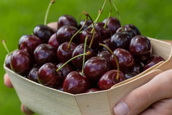 Урожай черешни