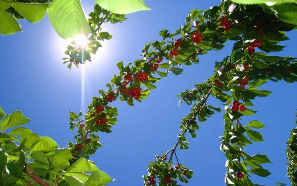 Ветки черешни под солнцем