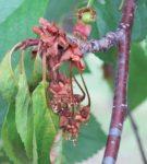 Отмирание ветвей