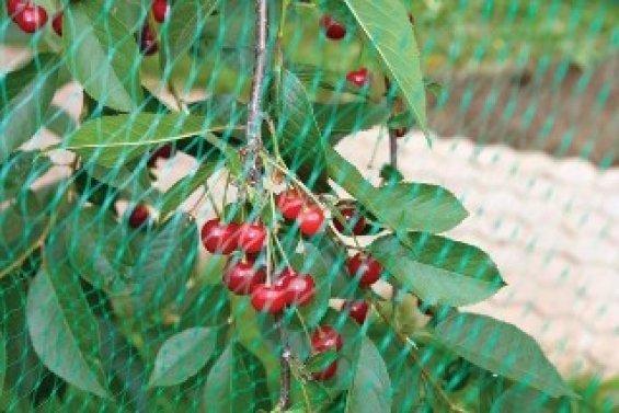 Защита вишни от птиц