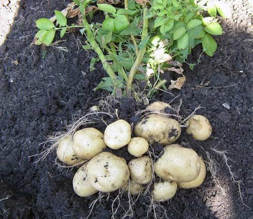Выкопанный с клубнями картофельный куст