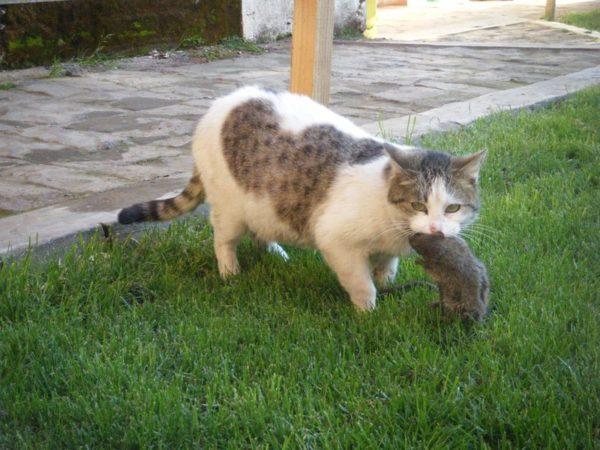 Кот поймал крысу