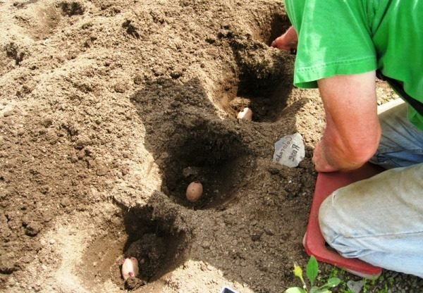 Высаживание картофеля в лунки под лопату