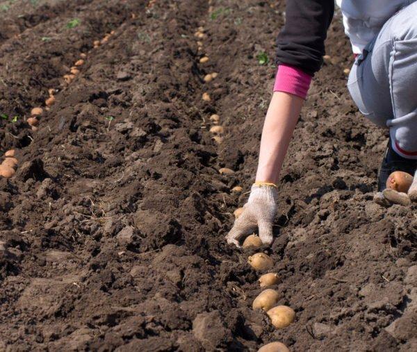 Посадка картофеля Удача