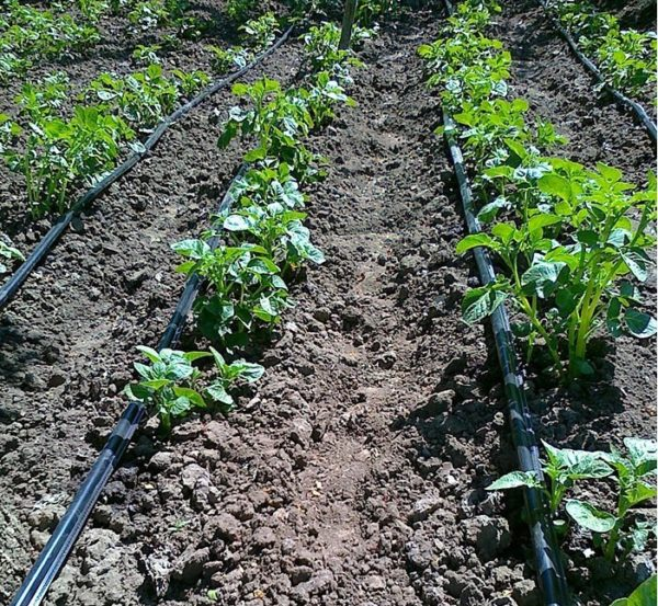Кусты картофеля на грядах