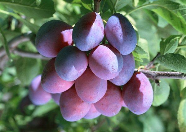 Сливовая гроздь