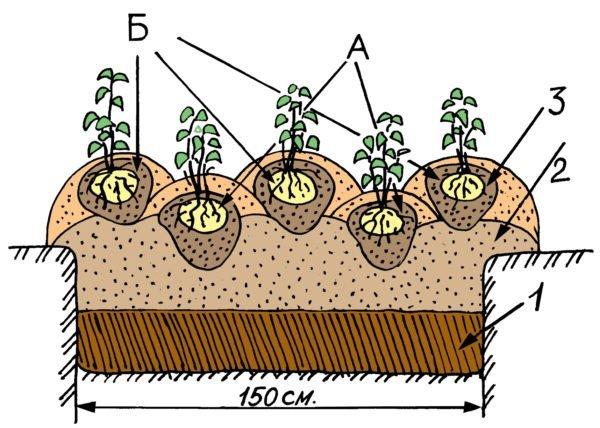 Схема посадки грядки для двух урожаев