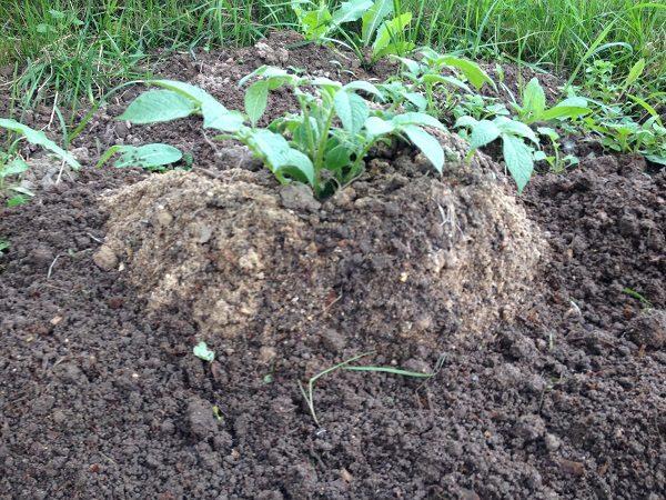 Куст картошки, растущий в яме