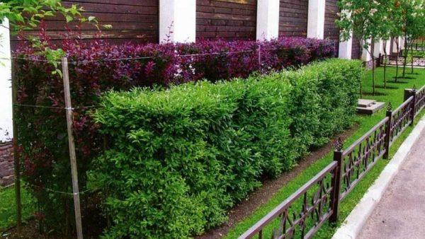 Изгородь из кустарника