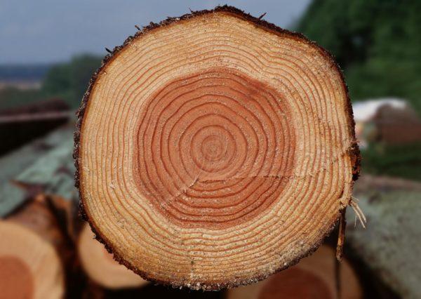 Срез дубового брева