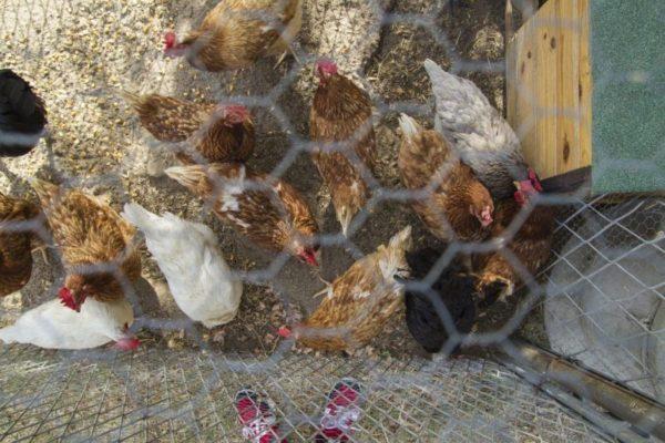 Площадка для выгула куриц