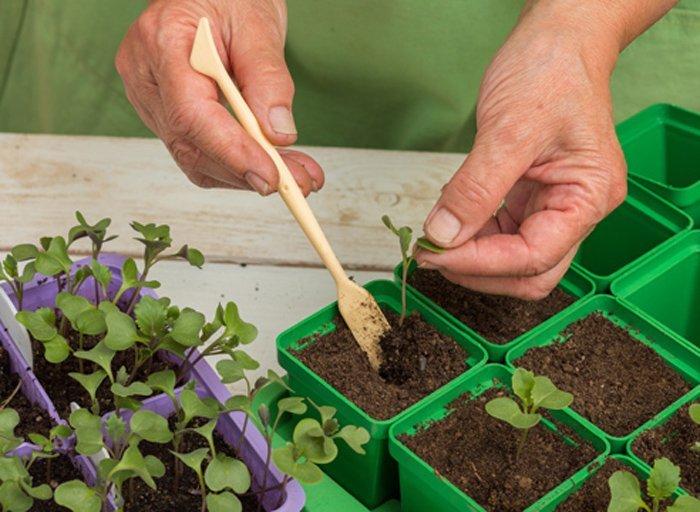 Когда сажать цветную капусту на рассаду в 951