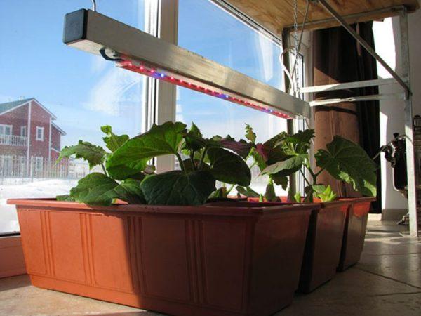 Подсвечивание рассады огурцов при выращивании в домашних условиях