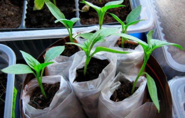 Проращивание в «пелёнке»