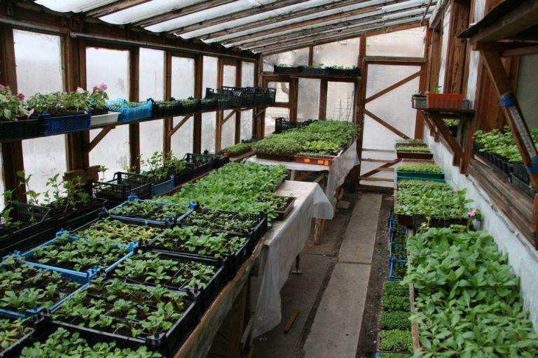 Теплицы для выращивания петунии 14