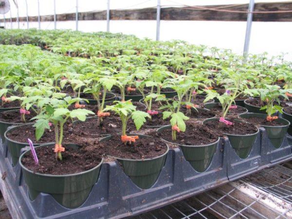 Рассада помидоров в теплице
