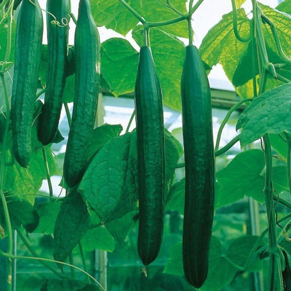 Hothouse cucumber