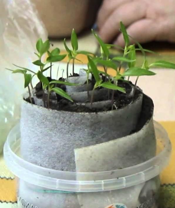 Выращивание перца в «улитке»